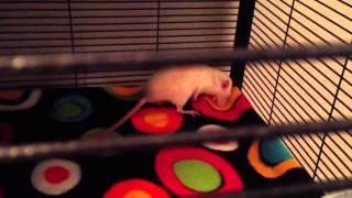 Rat Rapture 014 - WARNING: RAT SEIZURE