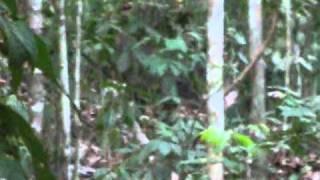 grupo de queixadas / White-lipped peccary herd (Tayassu pecari)