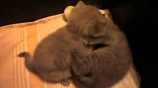 Шотландские котята.Прикольные котята.