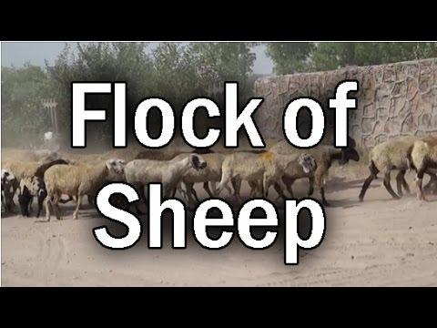 Flock of Sheep | Royalty Free Footage | HD