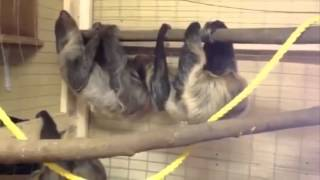 Sloths Mating Video funny animals that mate for life