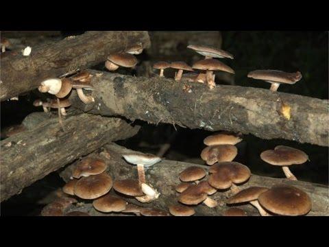 Clique e veja o vídeo Curso Cogumelo Shiitake - Escolha da Madeira