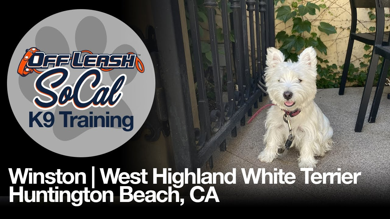 Winston | West Highland White Terrier | Huntington Beach, CA