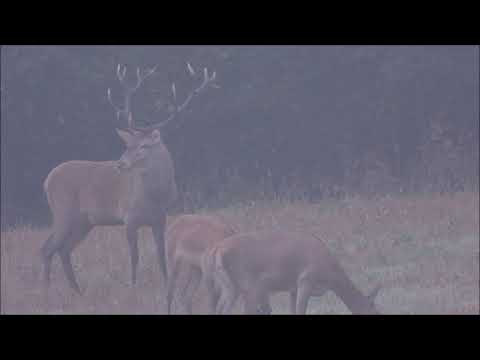 Hlavní jelen říjiště - Videolovy - Life in nature