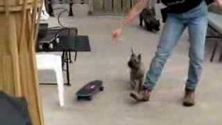 Skateboarding Cairn Terrier Puppy