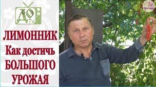 лИМОННИК - делюсь СЕКРЕТОМ БОЛЬШОГО УРОЖАЯ / DelaOgorodnieTV