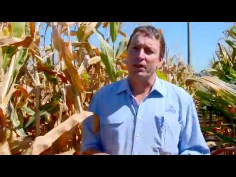 Pioneer Corn Research Manager Stephen Wilson - The future of Australian Corn  - corn silage harvest