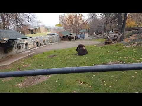 Enclosure of Canadian muskox