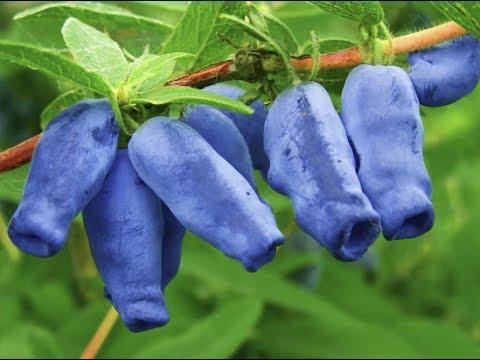 Вопрос: С какими плодовыми деревьями можно сажать жимолость?