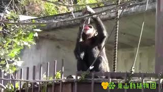 チンパンジー舎ではいくつかのエンリッチメントを行っています。その中...