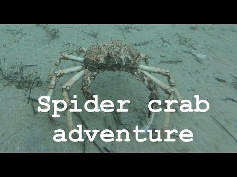 E11- I get spider crabs
