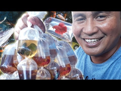 HARVESTING thousands of Betta fish
