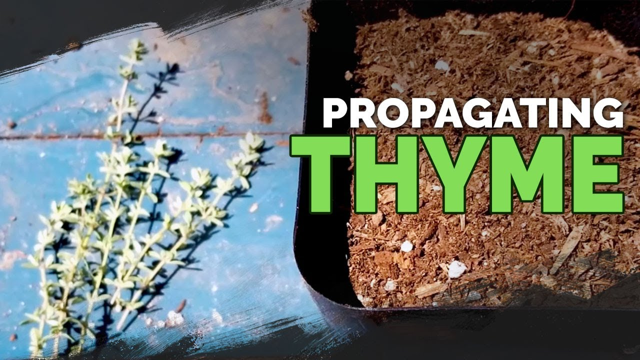 Download Propagating Thyme: My Dirt-Simple Method For Success
