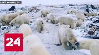 Люди отстаивают территорию: белых медведей прогоняют с Новой Земли - Россия 24