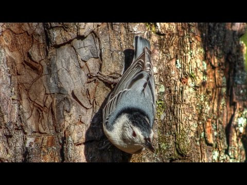 White Breasted Nuthatch and Downy Woodpecker