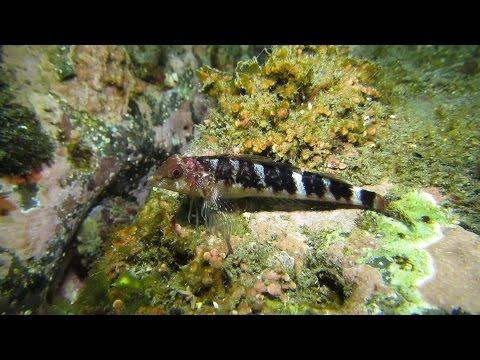 (먹)가막베도라치#2(Enneapterygius etheostomus,암컷 혼인색 Female, Breeding Color)~Snake blenny, Snake triplefin