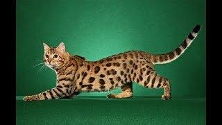 Những loài mèo