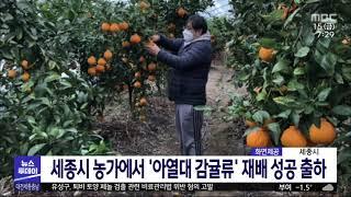 세종시 농가에서 황금향·한라봉·천혜향 출하/대전MBC