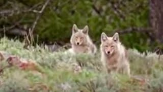 Black bear cubs vs wild coyotes - BBC wildlife