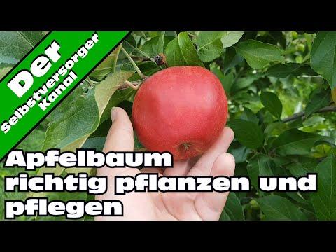 Apfelbaum richtig pflanzen und pflegen  Tipps vom Fachmann