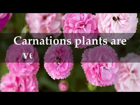 How to Grow Carnation Plants at Home