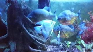 Can piranhas live with other fish