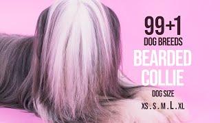 Bearded Collie / 99+1 Dog Breeds