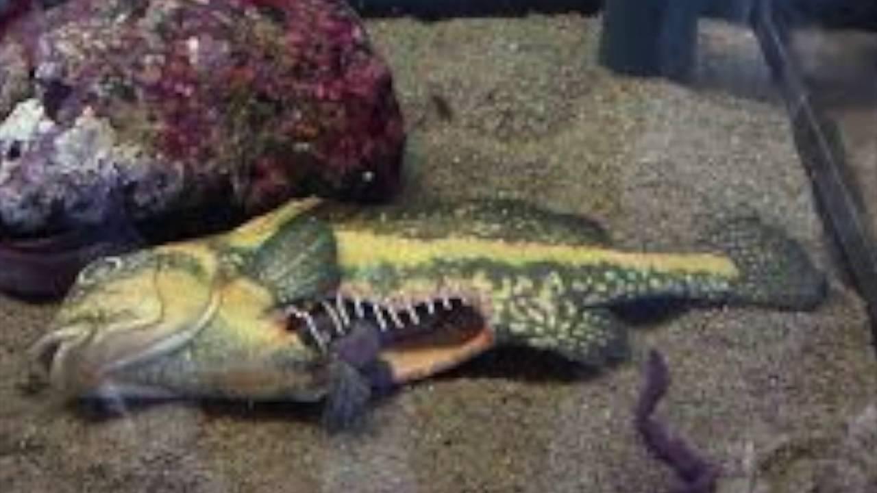 Hagfish - YouTube for Hagfish Eating Fish  70ref