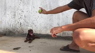 Chia sẻ cách huấn luyện chó làm tнeo lệnh ngồi , nằm , sủa