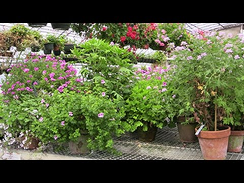 The Many Fragrances Of Scented Geraniums