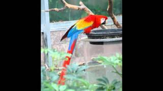 Burung Kakak Tua (Parrot)《鹦鹉》