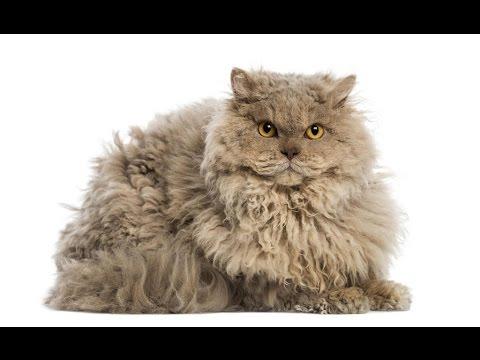 Selkirk Rex longhair cat