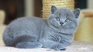Британский кот Джони в возрасте 6 недель