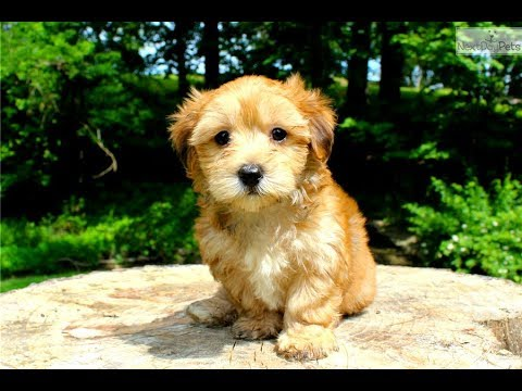 Morkie Facts - Puppies And Full Grown Dogs