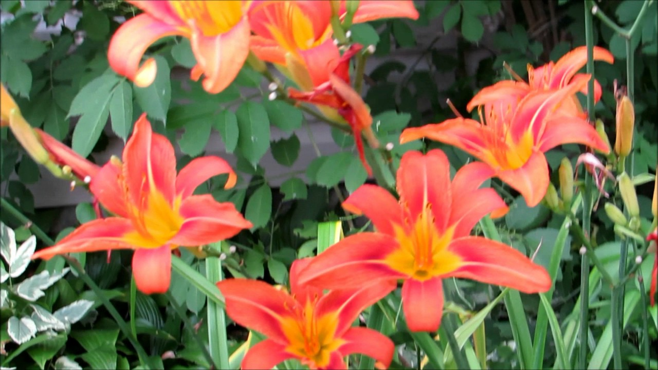 My Beautiful Vintage Tiger Lily Flowers Youtube