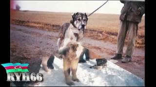Легенды прошлых лет  по собачьим боям (ryh66)(, 2013-11-04T21:34:30.000Z)