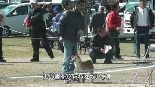 日本犬保存会の展覧会は、国の天然記念物に指定された日本犬種の保存と...