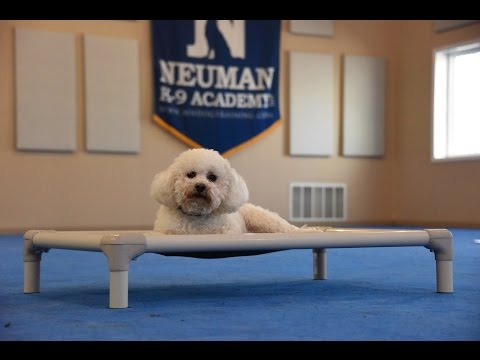 Ollie (Bichon Frise) Boot Camp Dog Training Demonstration