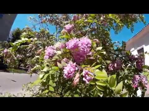 Декоративная розовая акация (робиния клейкая) - дерево с душистыми цветущими гроздьями