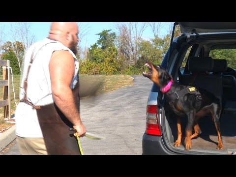 Protection Trained Doberman Female 'Falon' Super Nice Dog For Sale