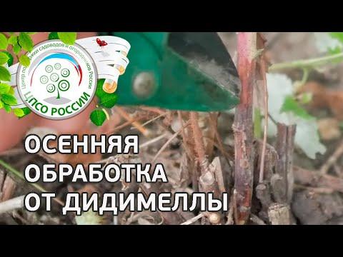 Болезнь малины - Дидимелла. Лечение малины от пурпуровой пятнистости (Дидимеллы)