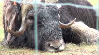 musk ox on uaf large animal research facility