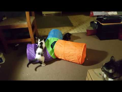 Kittens Play with New Toy