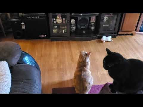 Cute Bobtail cat watching himeslf watching CrazyRussian Hacker on TV