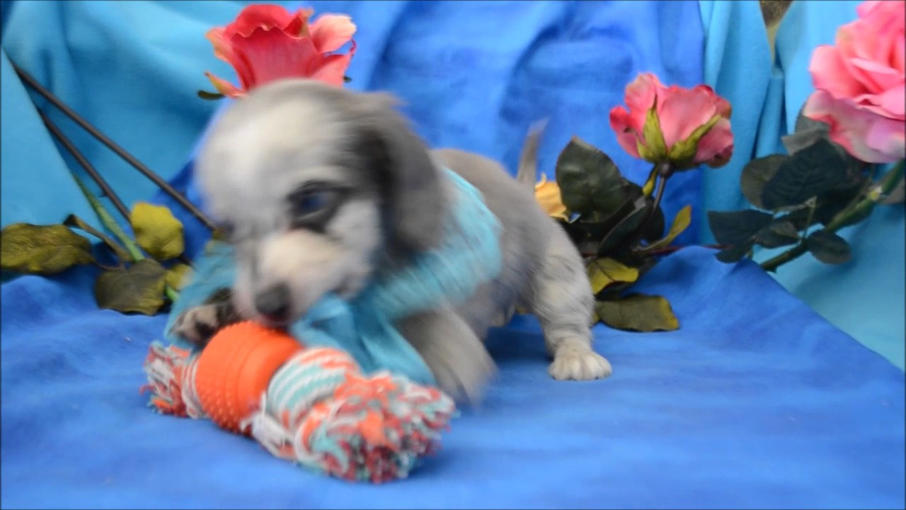 Blue Dapple Miniature Dachshund Puppy for sale **719-306-8118**