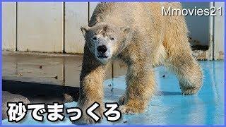"Polar Bear ""Kiroru""(male/8) at the Kushiro Zoo. 釧路市動物園のホッ..."