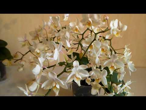 """Новинка: Jungle orchid, фаленопсис Soft Cloud - """"Мягкое облако""""."""