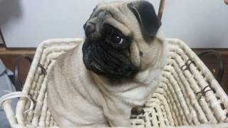 パグ犬ムゥの体重を測定してみました。ムゥちゃんは食いしん坊なので重...