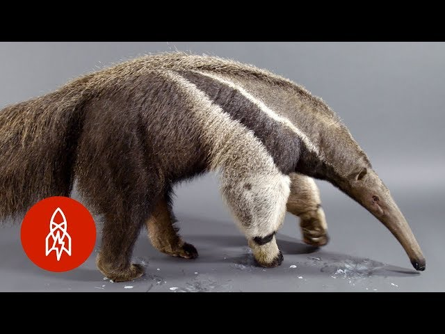 The Giant Anteater Carries On, 25 Million Years and Counting