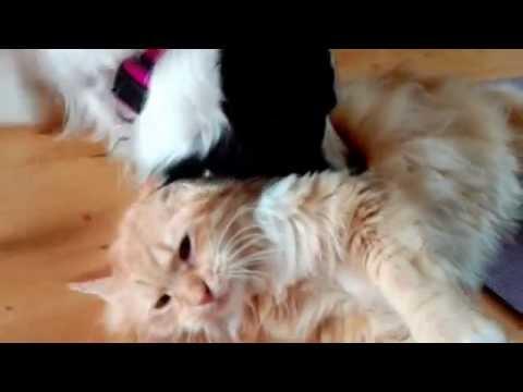 Border Collie meets Siberian Forest Cat - part 1